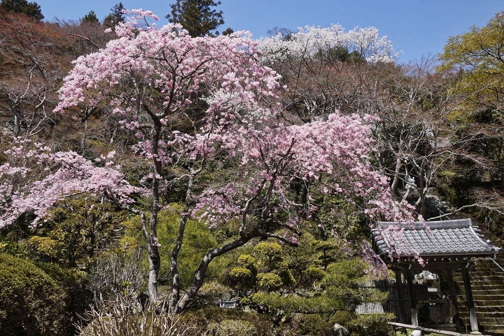 金蔵寺 桜の写真素材