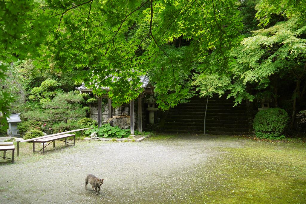 金蔵寺のネコの写真素材