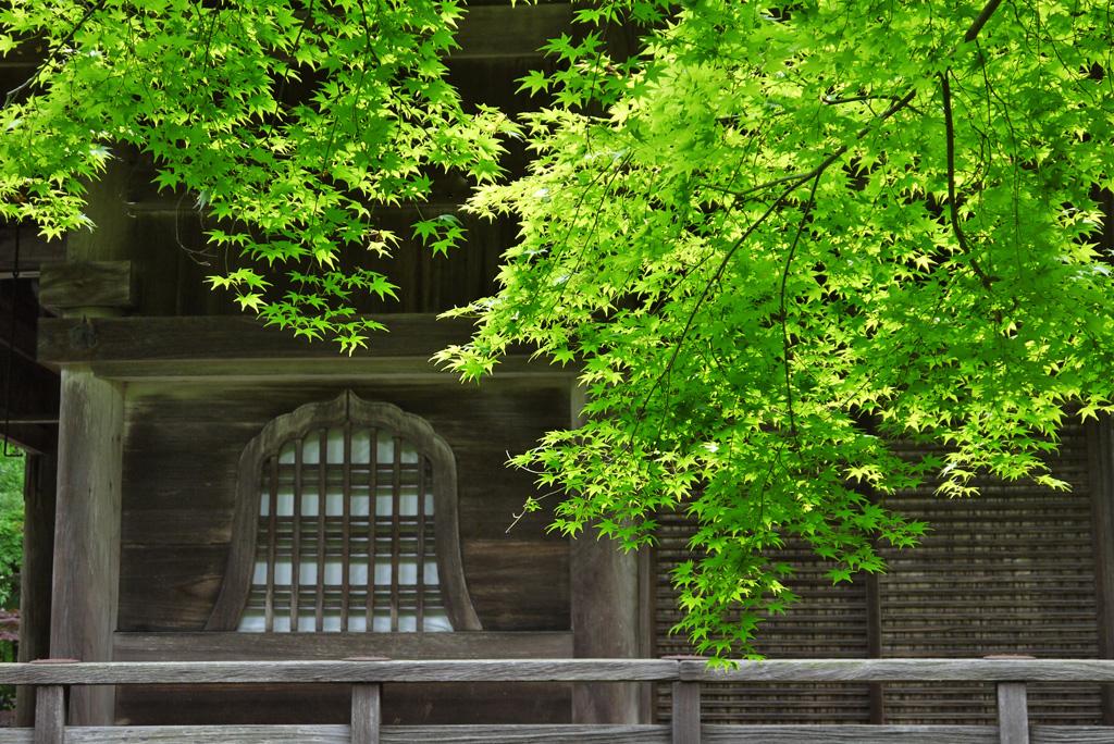 金蔵寺の青もみじ写真素材