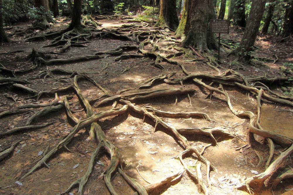 鞍馬寺 木の根道の写真素材