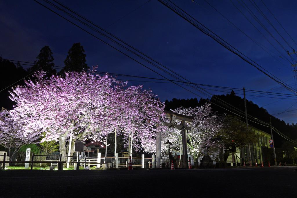 黒田の百年桜の写真素材