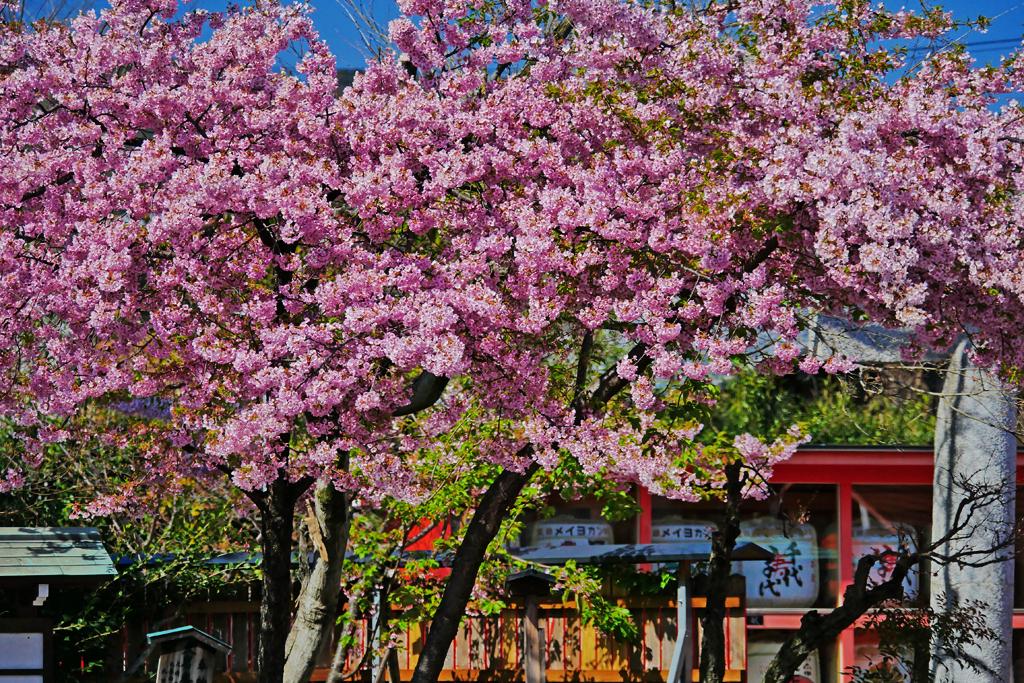 車折神社の桜の写真素材