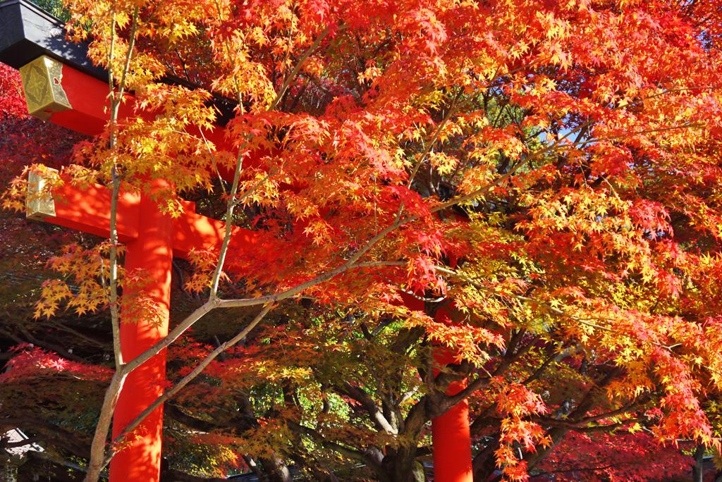 車折神社の紅葉の写真素材
