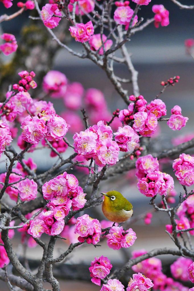 京都御所 紅梅とメジロの写真素材