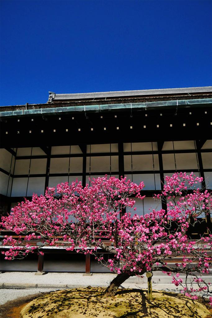 京都御所 紅梅の写真素材