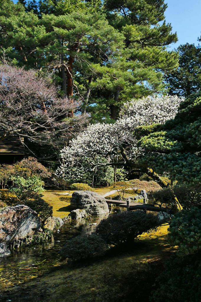 京都御所 白梅の写真素材
