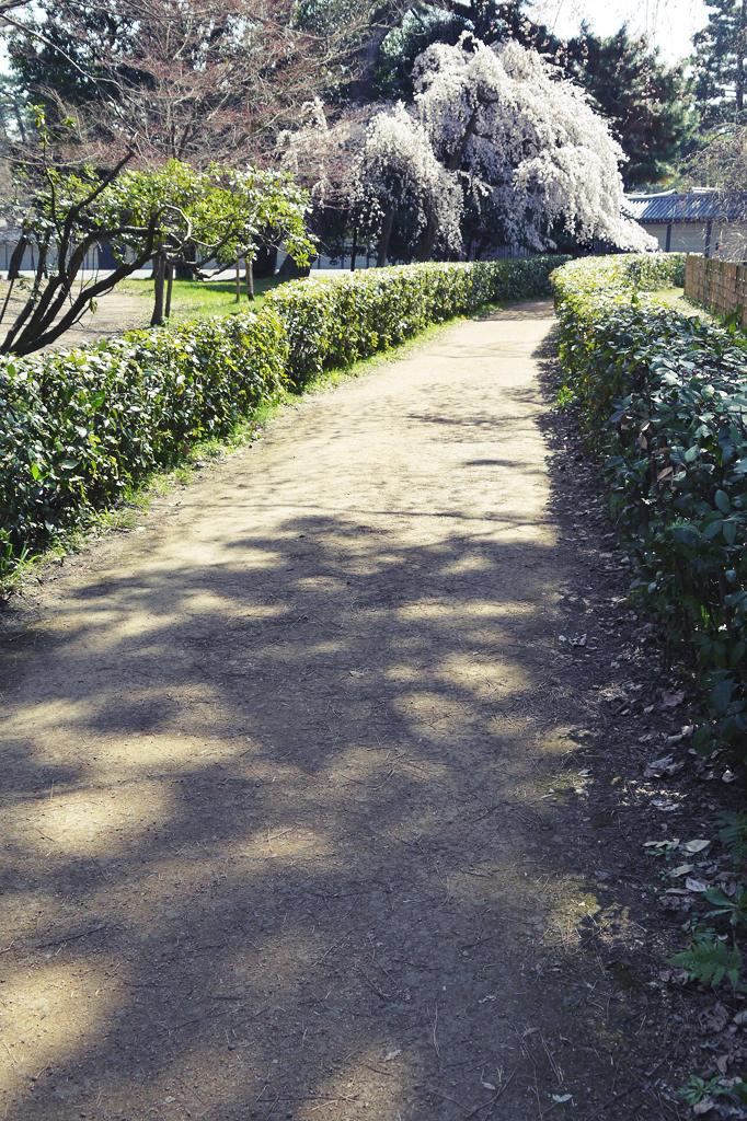 京都御苑の桜の写真