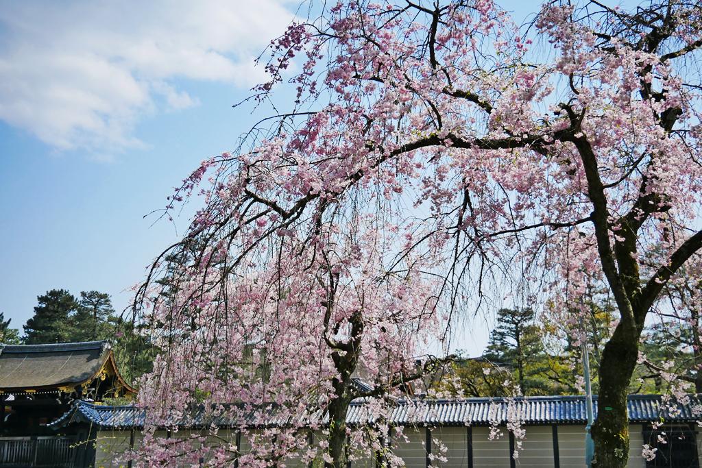 京都御苑の紅しだれ桜の写真