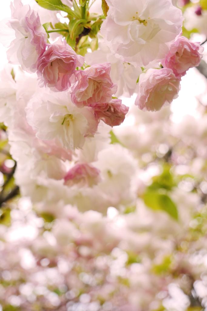 京都御苑の八重桜の写真
