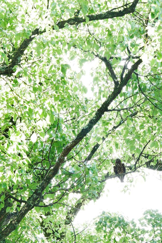 京都御苑の宗像神社 アオバズクの写真素材