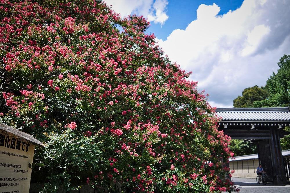 京都御苑 百日紅
