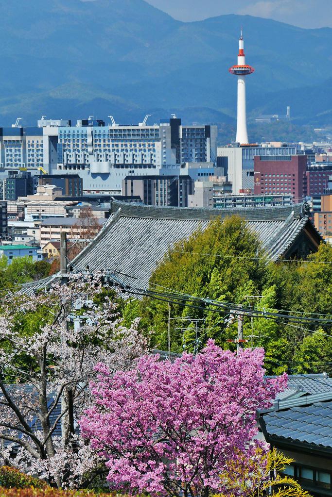 京都タワーと桜の写真素材