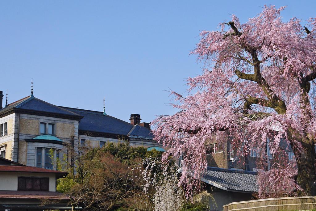 円山公園祇園の枝垂桜 の写真素材