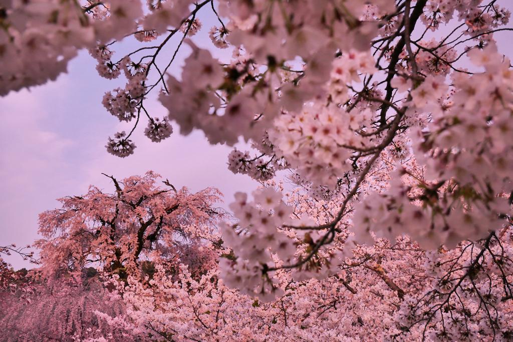 円山公園 祇園の枝垂桜の写真素材
