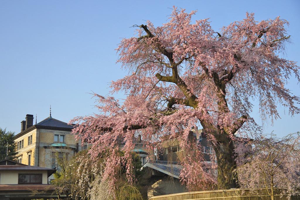 円山公園の桜の写真素材