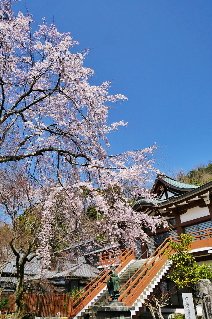 松ヶ崎大黒天の桜の写真素材