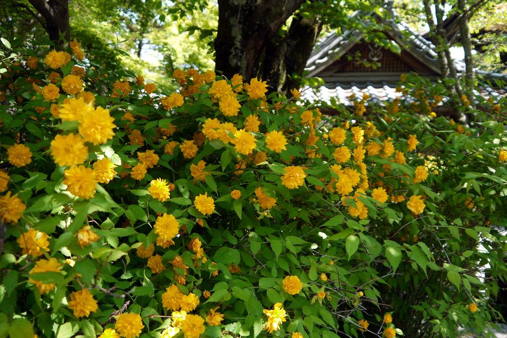 松尾大社の山吹の写真素材