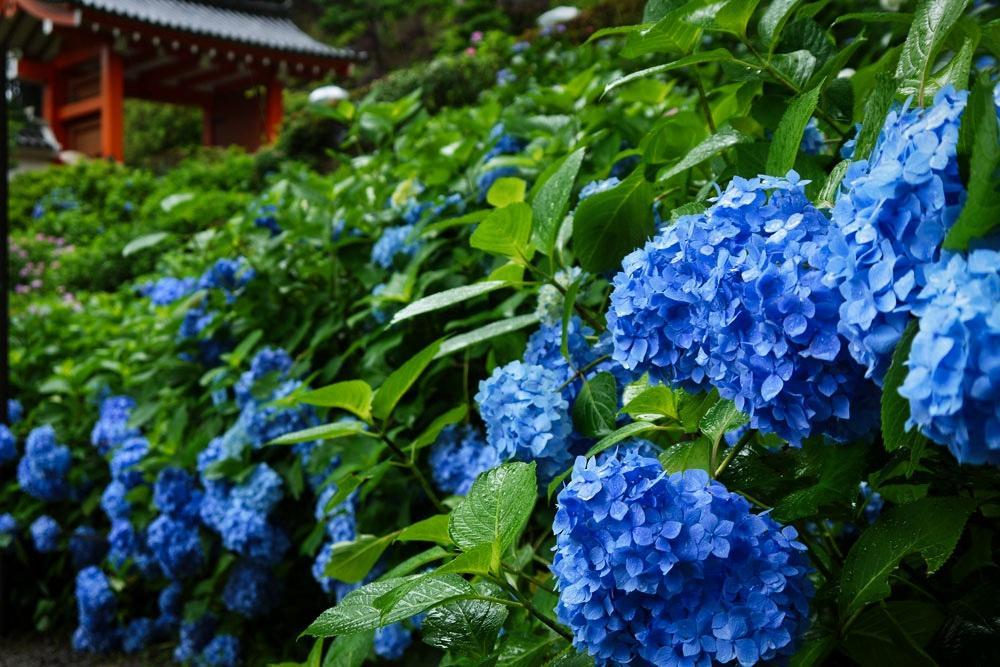 三室戸寺の紫陽花の写真素材