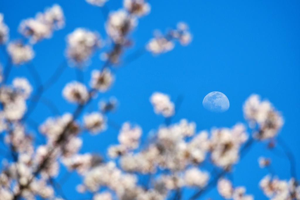 月と桜の写真素材