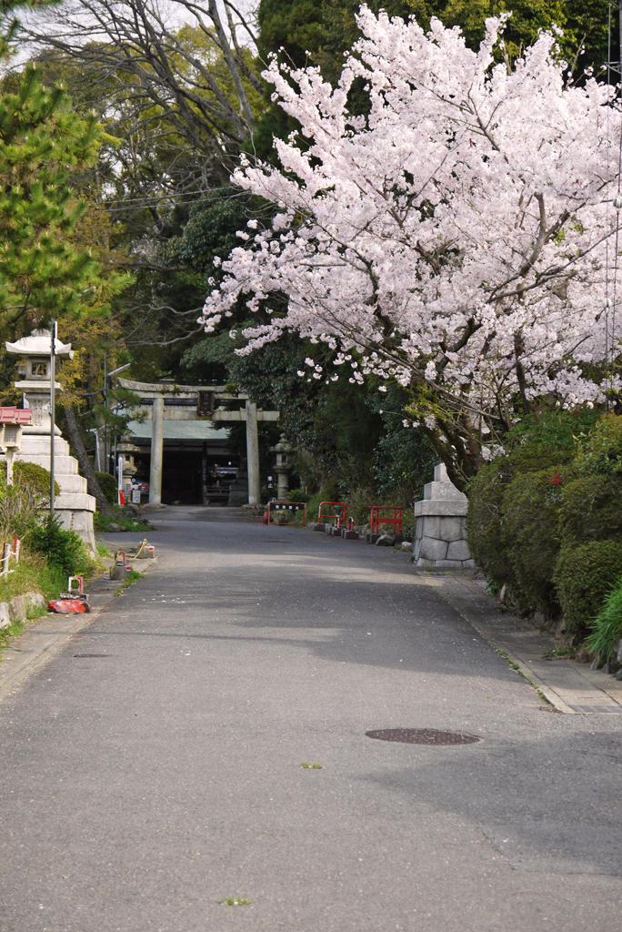 山科 諸羽神社の桜の写真素材