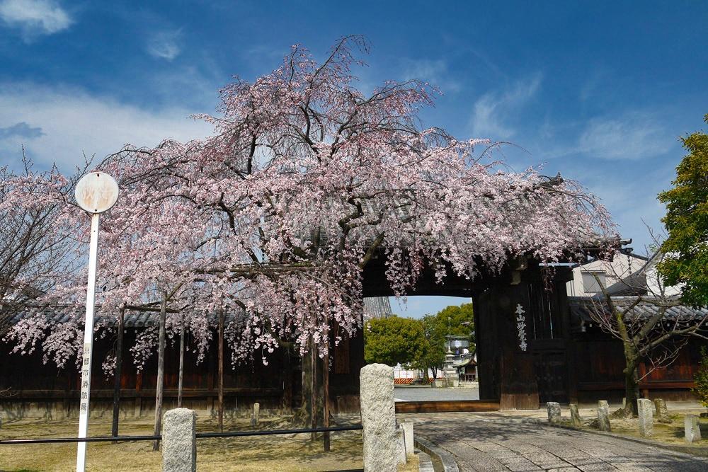 妙覚寺の桜の写真