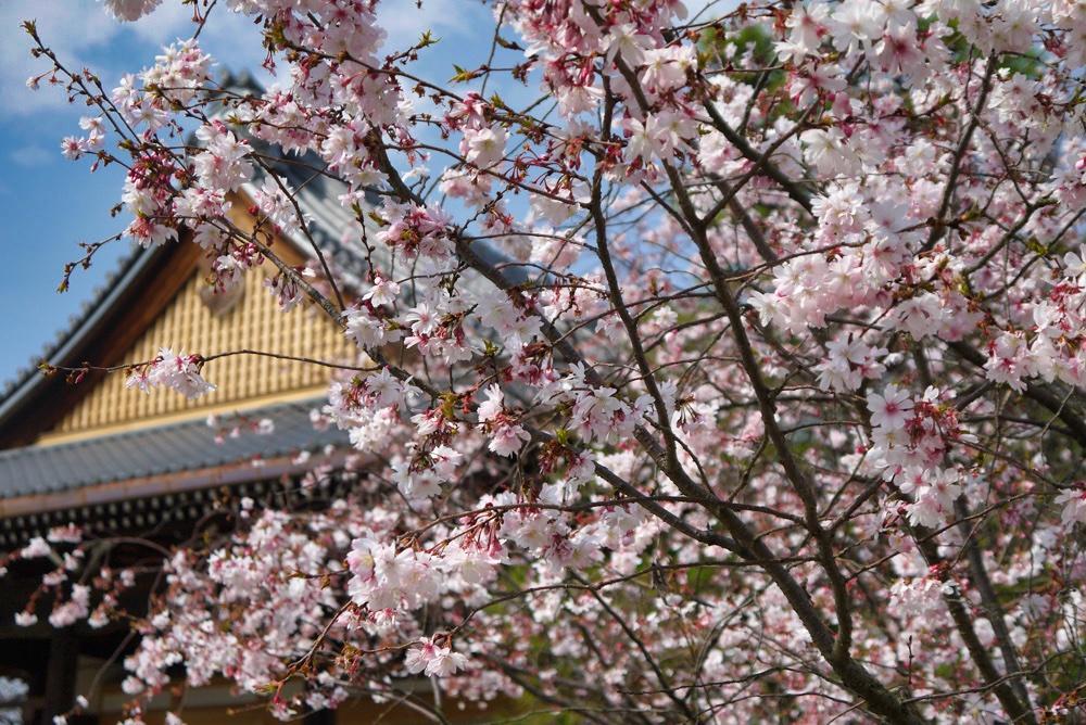 妙蓮寺の桜の写真