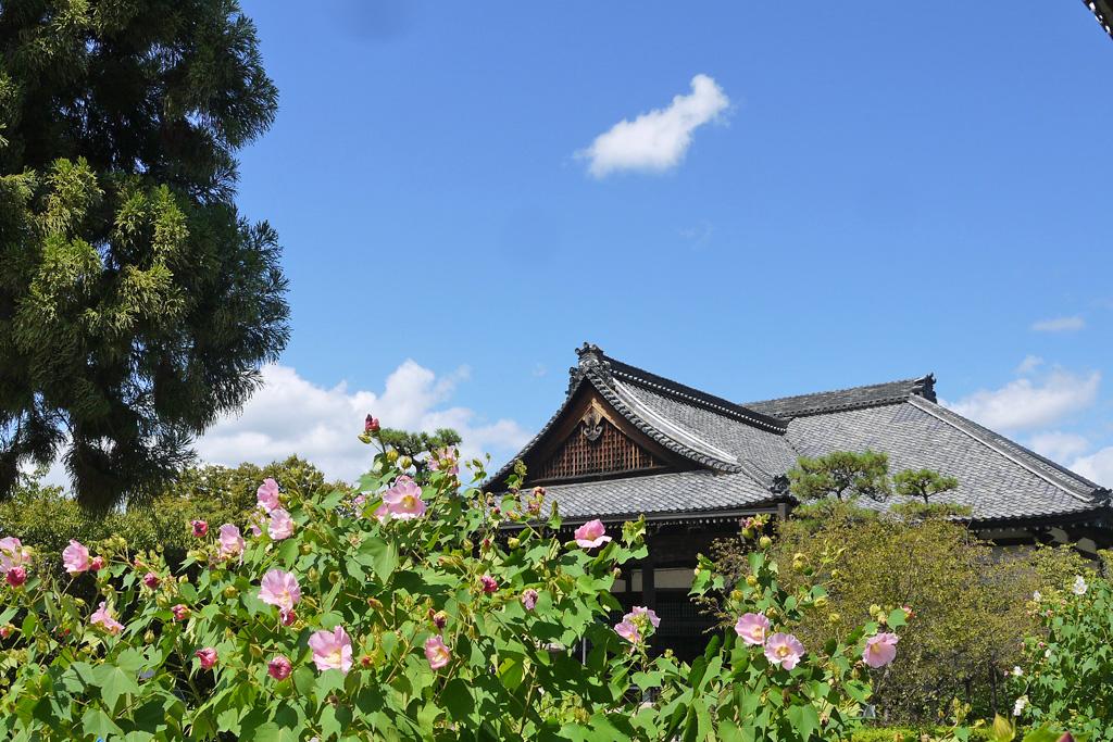 妙蓮寺の芙蓉の写真