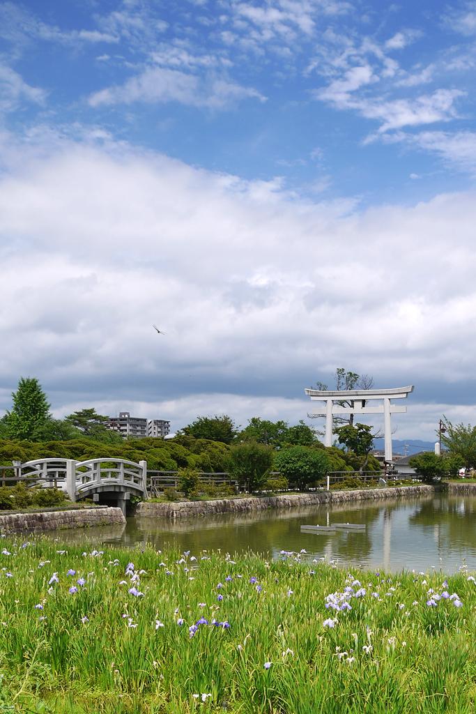 長岡天満宮の花菖蒲の写真素材