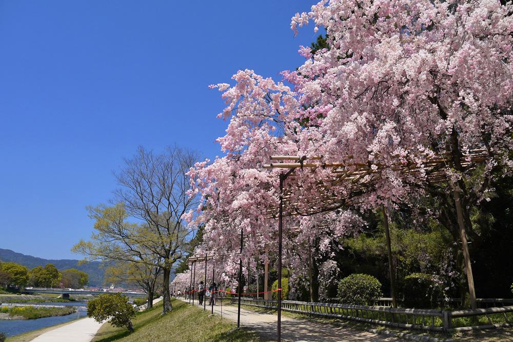 なからぎの道の桜の写真素材