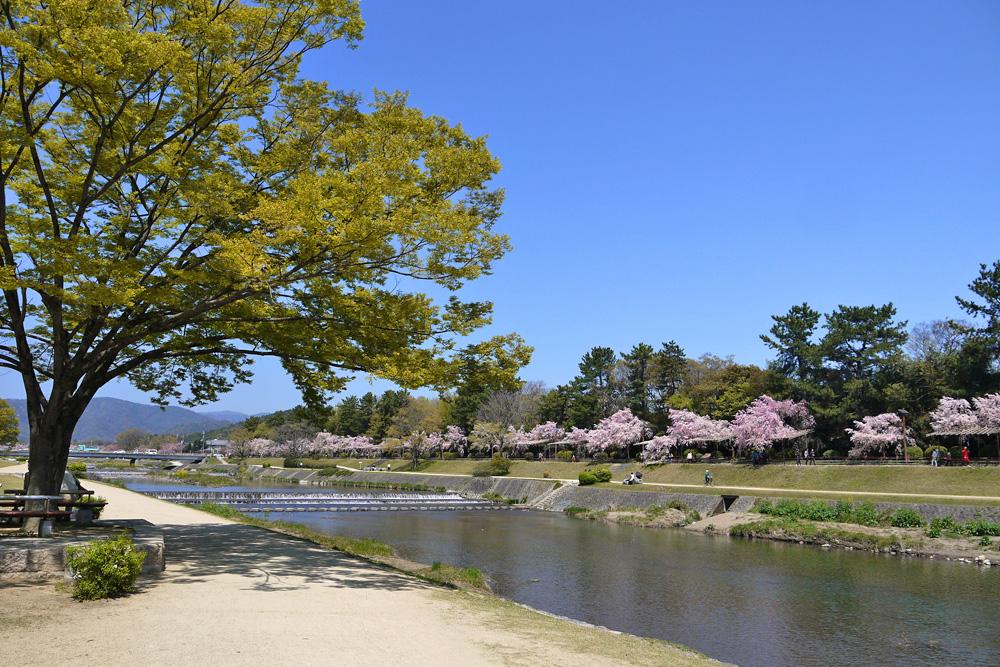 京都 鴨川なからぎの道の桜写真素材