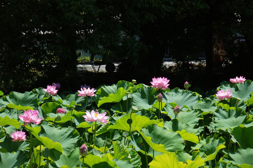 南禅寺の蓮