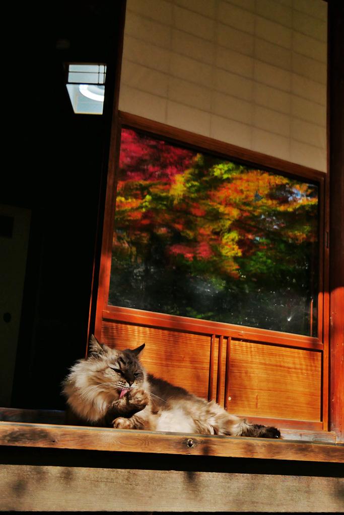 泉涌寺 来迎院「含翠庭」の猫の写真素材