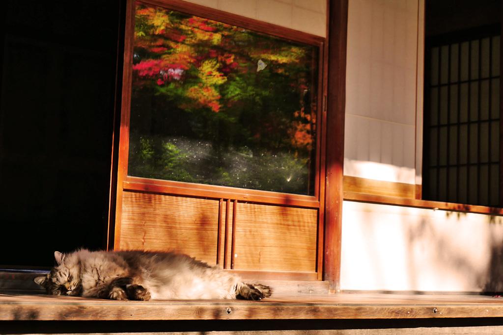 京都の泉涌寺来迎院のネコの写真素材