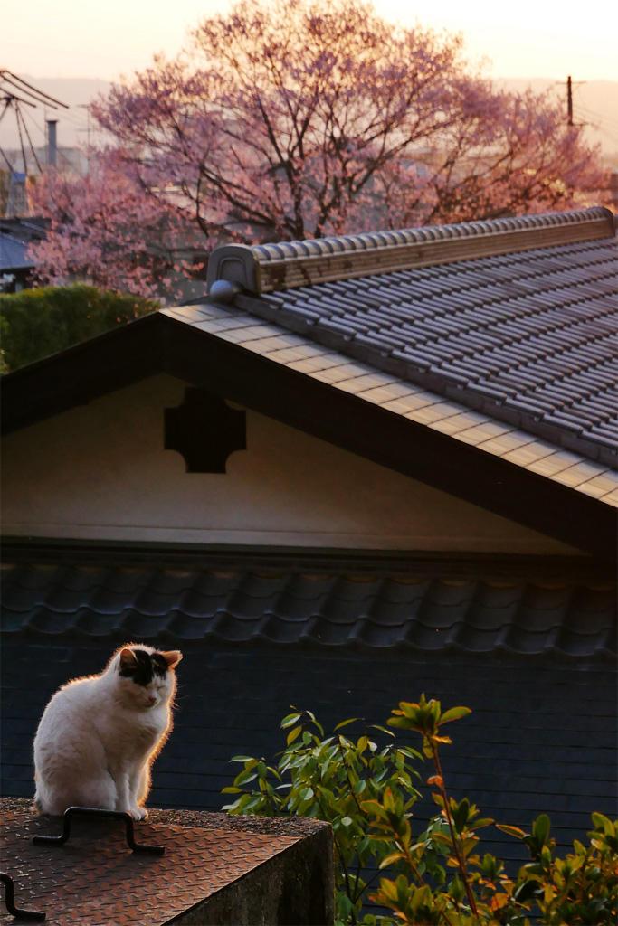 哲学の道のネコの写真素材