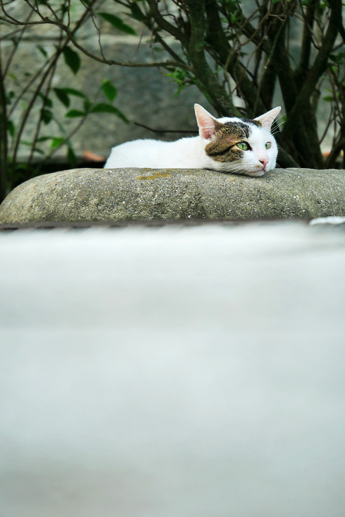 京都の伏見稲荷大社のネコの写真素材