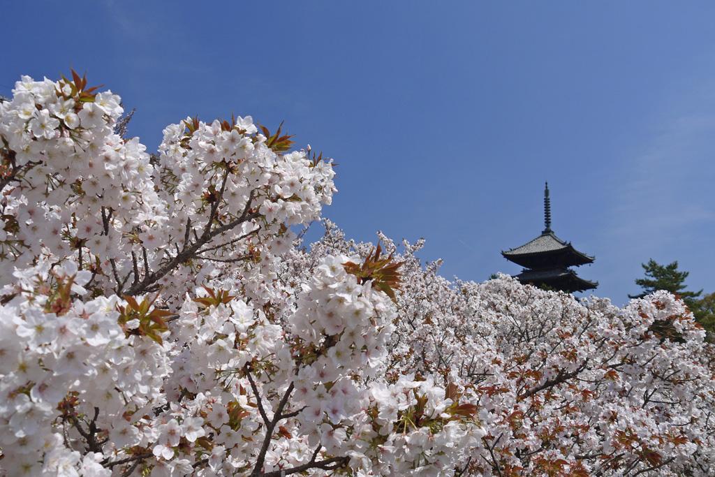 仁和寺の桜の写真素材