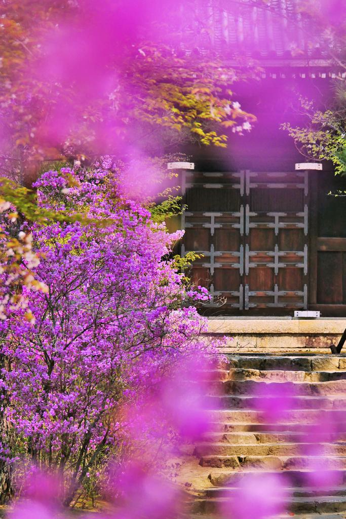 京都 仁和寺のミツバツツジの写真素材