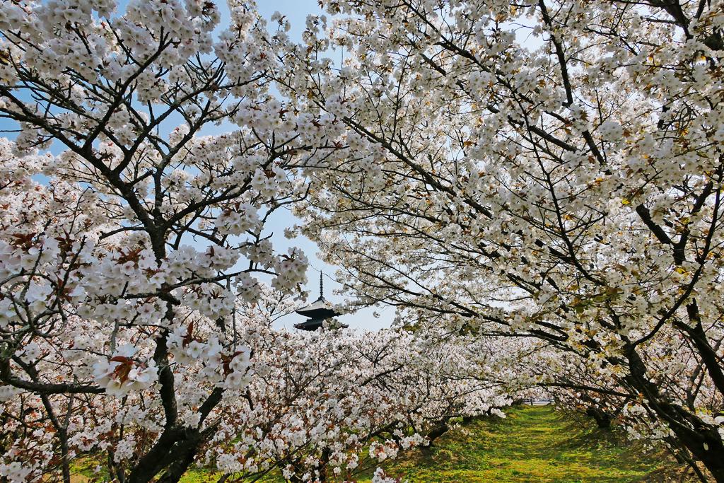 京都 仁和寺の御室桜の写真素材