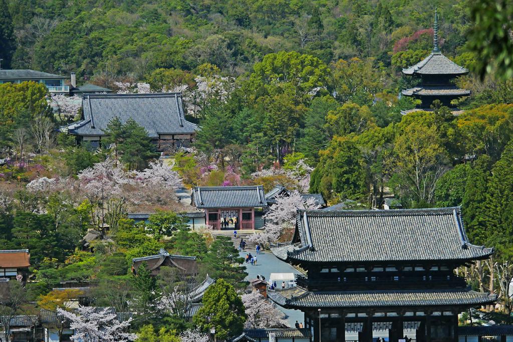 京都 仁和寺の桜の写真素材