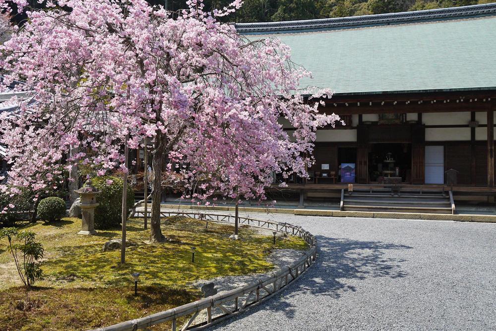 二尊院の桜の写真素材