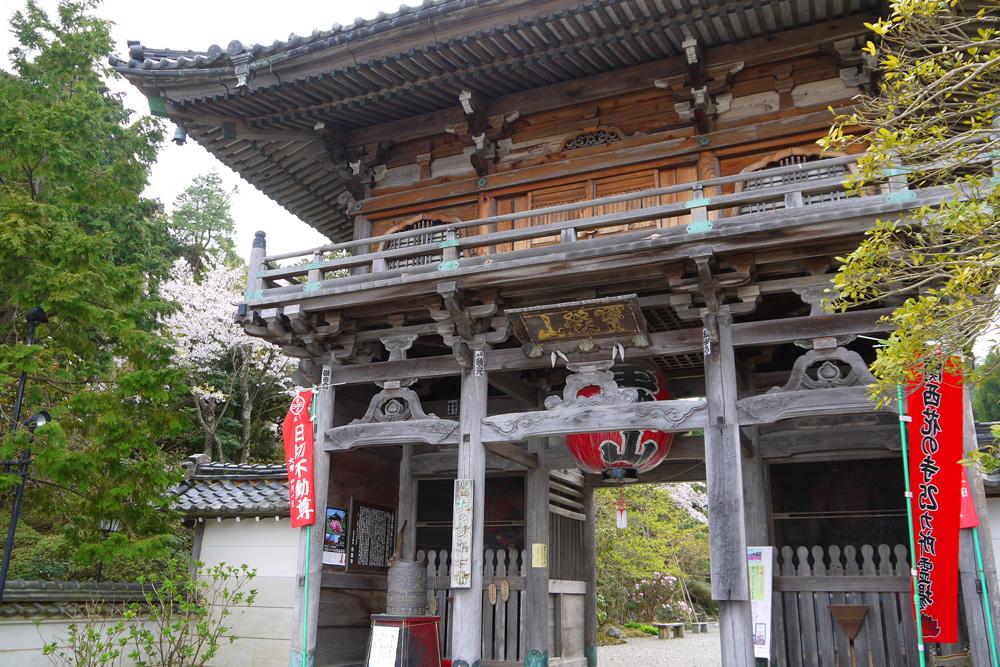 如意寺のミツバツツジと桜