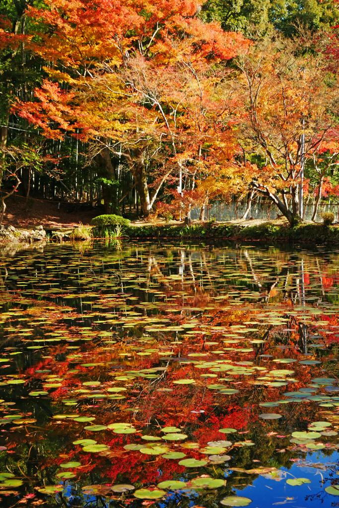 大原野神社の紅葉の写真素材