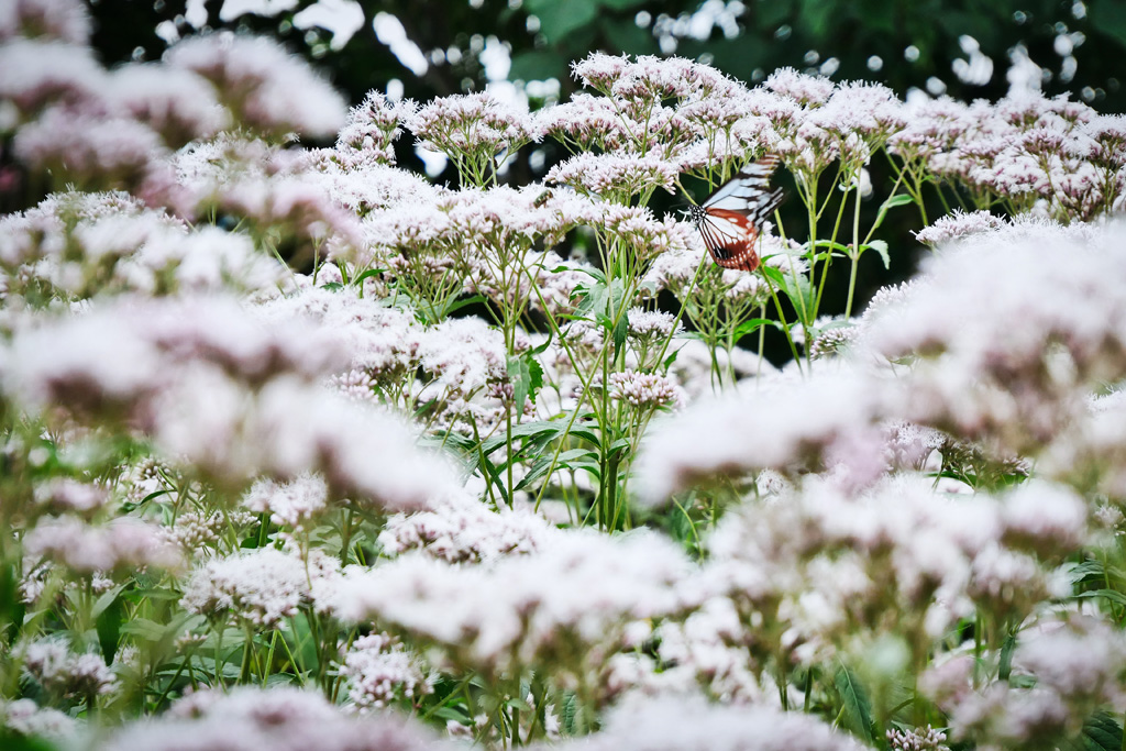 京都 フジバカマの写真素材