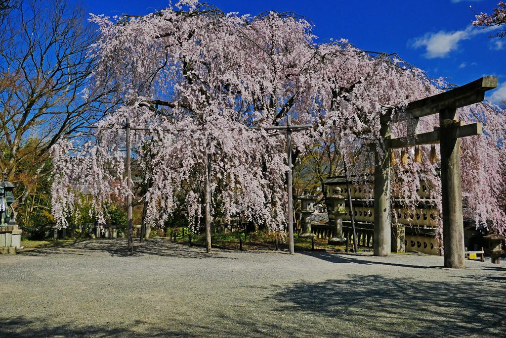 大石神社 桜の写真素材