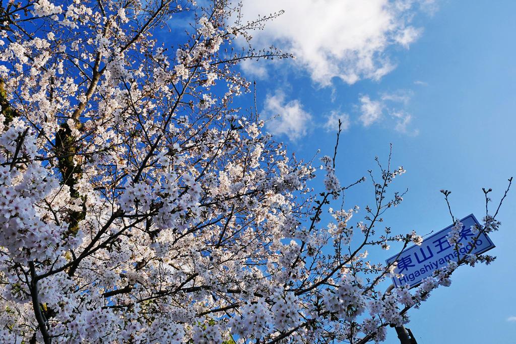 大谷本廟の桜の写真素材