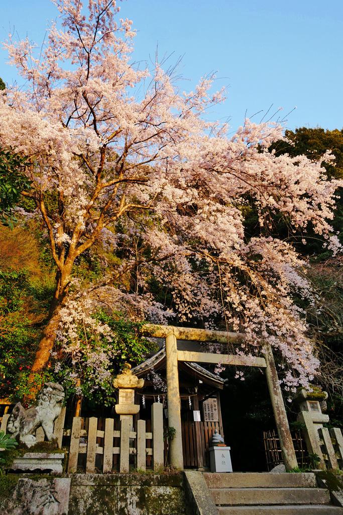 枝垂れ桜 大豊神社の写真素材