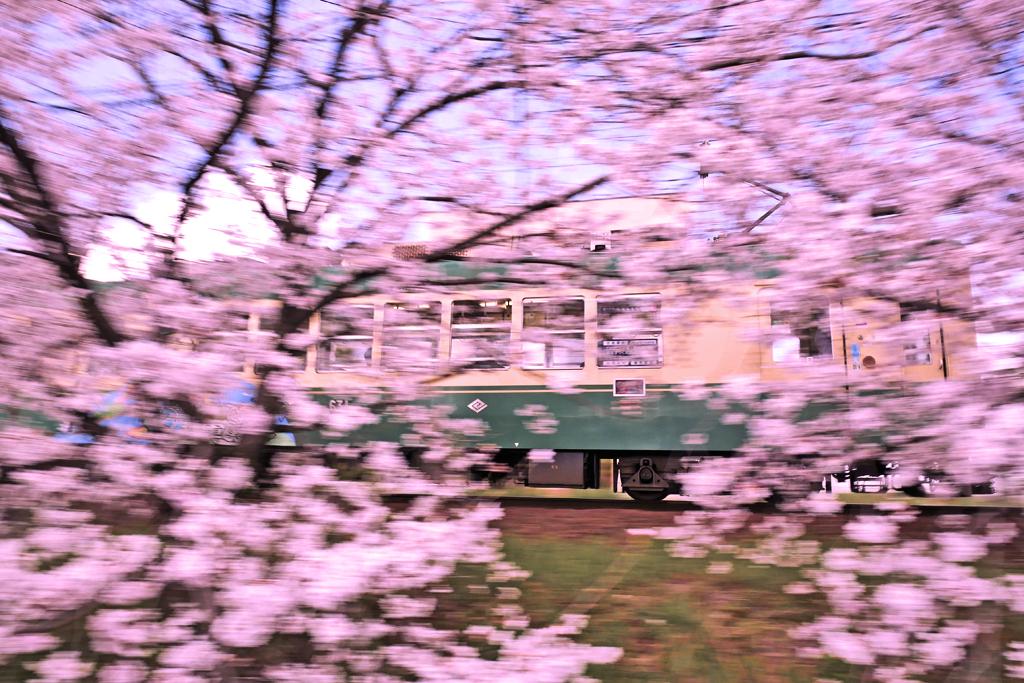 嵐電の桜の写真素材