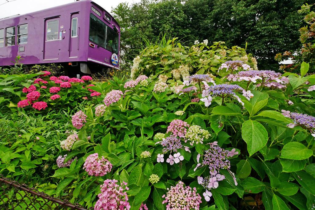 嵐電の紫陽花の写真素材