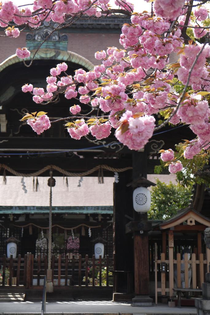 六孫王神社の桜の写真素材