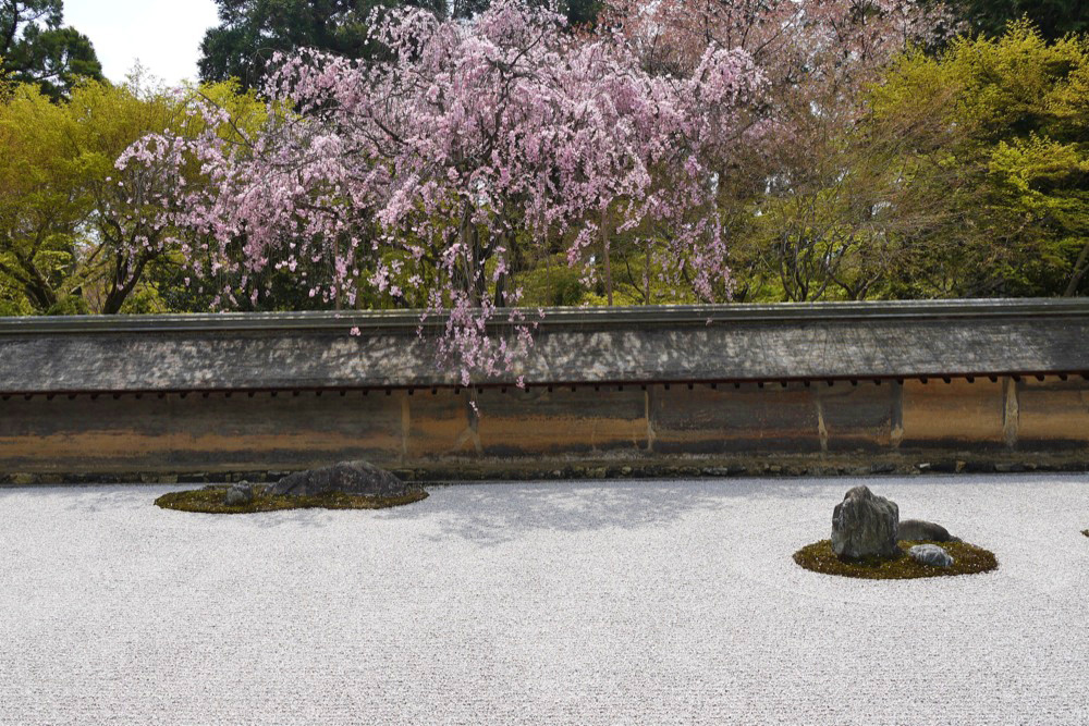 龍安寺の桜の写真素材